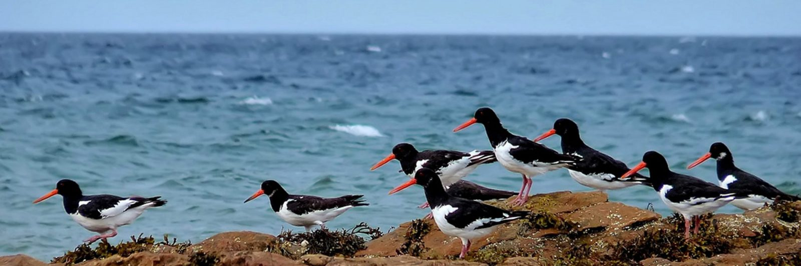 Banner image - oyster catchers